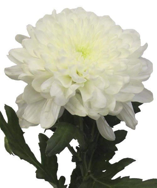 Хризантема белая одноголовая 70 см высотой поштучно