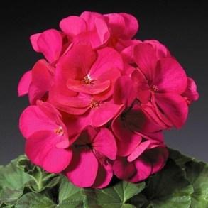 Пеларгония зональная  F1 Ringo 2000 Violet. Пакет - 5 семян