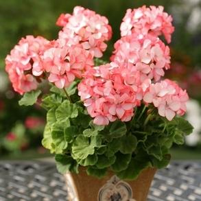 Пеларгония зональная Divas Petticoat. Пакет - 5 семян