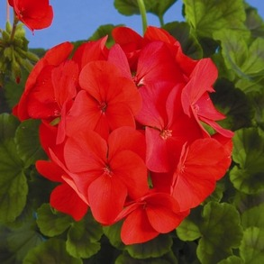 Пеларгония зональная  F1 Ringo 2000 Deep Red. Пакет - 5 семян