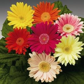 Гербера Джеймсона Single flowered Hybrids (микс)