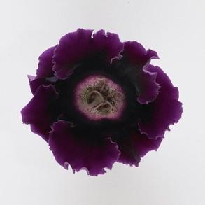 Глоксиния гибридная f1 Empress Purple. Пакет - 5 семян