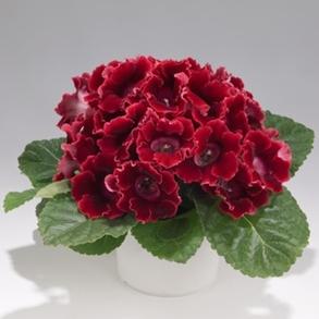 Глоксиния гибридная F1 Empress Red. Пакет - 5 семян