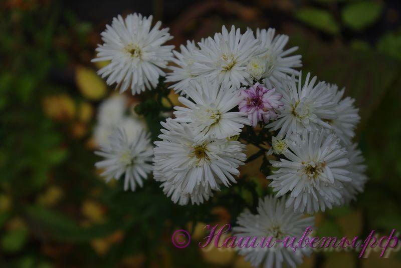 Астра кустарниковая 'Сноуспрайт' / Aster dumosus 'Snowsprite'
