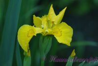 Ирис болотный (аировидный) / Iris pseudacorus