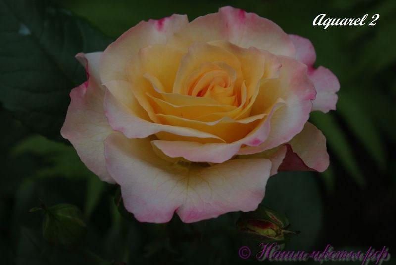Роза 'Акварель' / Rose 'Aquarell'