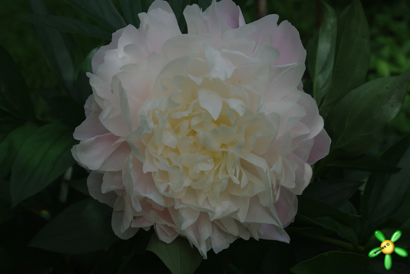 Пион травянистый 'Блаж Квин' / Paeonia 'Blush Queen'