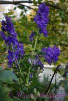 Аконит Арендса 'Слиппинг Бьютис' / Aconitum Carmichaelii Arendsii 'Sleeping Beauties'