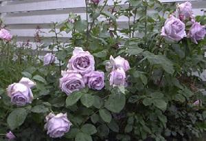 climbing blue moon роза