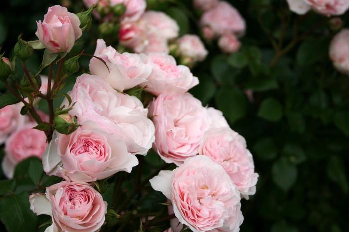 Роза Мария Терезия.(Mariatheresia)