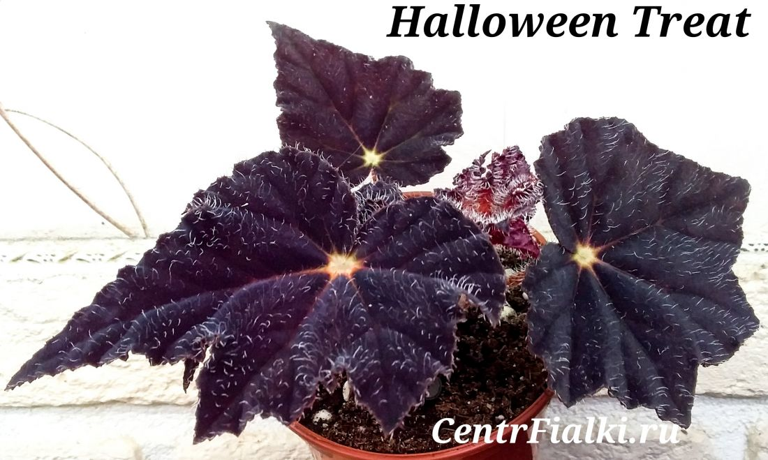 Begonia Halloween Treat