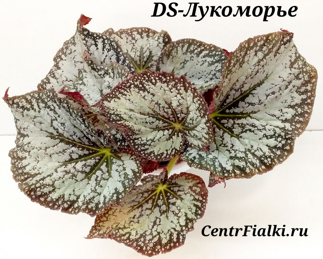 Begonia DS-Лукоморье