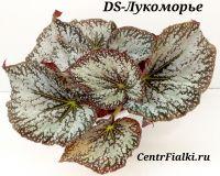 Бегония DS-Лукоморье взрослое растение
