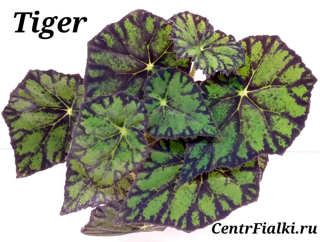 Begonia Tiger