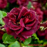 Кэти'с Роуз (Katie's Rose)