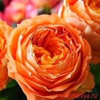 Оранж Романтика (Orange Romantica)