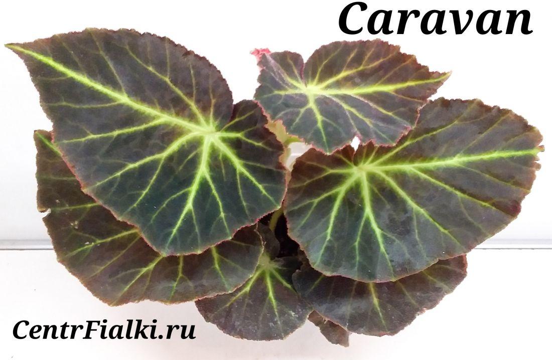 Begonia Caravan