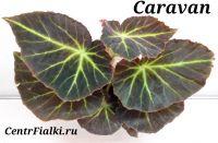 Бегония Caravan взрослое растение