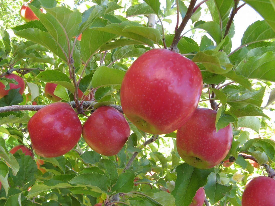 Яблоня, сорт Пинк Леди
