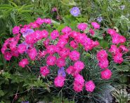 Гвоздика сизая (Dianthus gratianopolitanus)