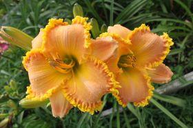 Лилейник Элизабет Солтер (Hemerocallis hybrid Elizabeth Salter)