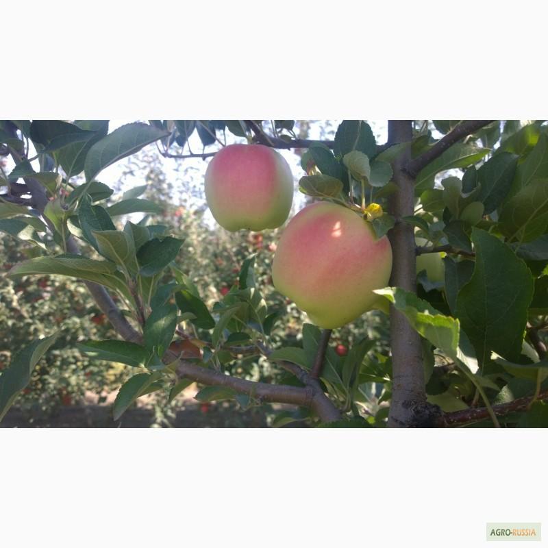 Яблоня, сорт Гала
