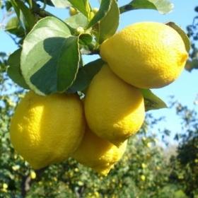 Лимон Загара Бьянка - Citrus Limon Zagara Bianca