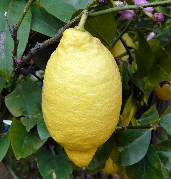 Лимон Лунарио - Citrus limon Lunario