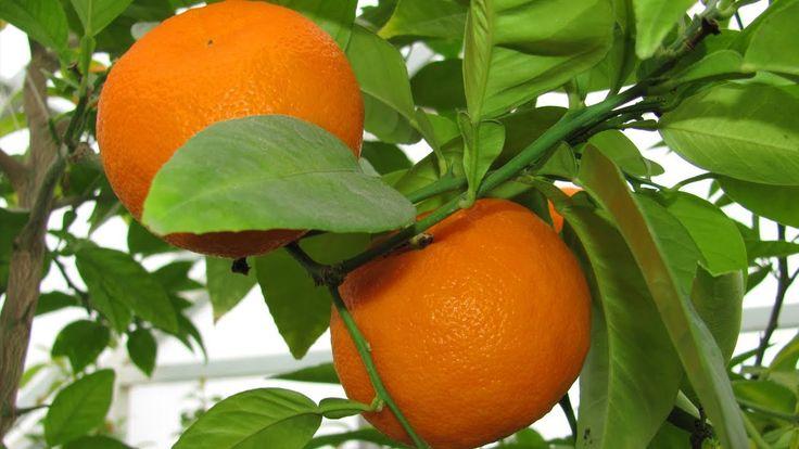 саженцы мандарина нова