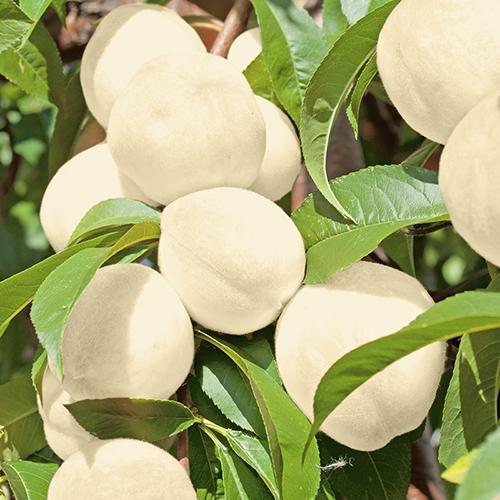 """Новый! абсолютно сорт белого карликового персика """"Ice Peach"""""""