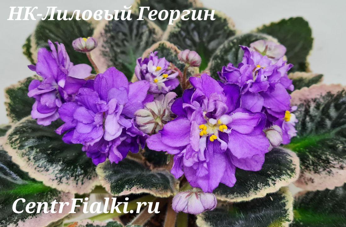 НК-Лиловый Георгин (Н. Козак)