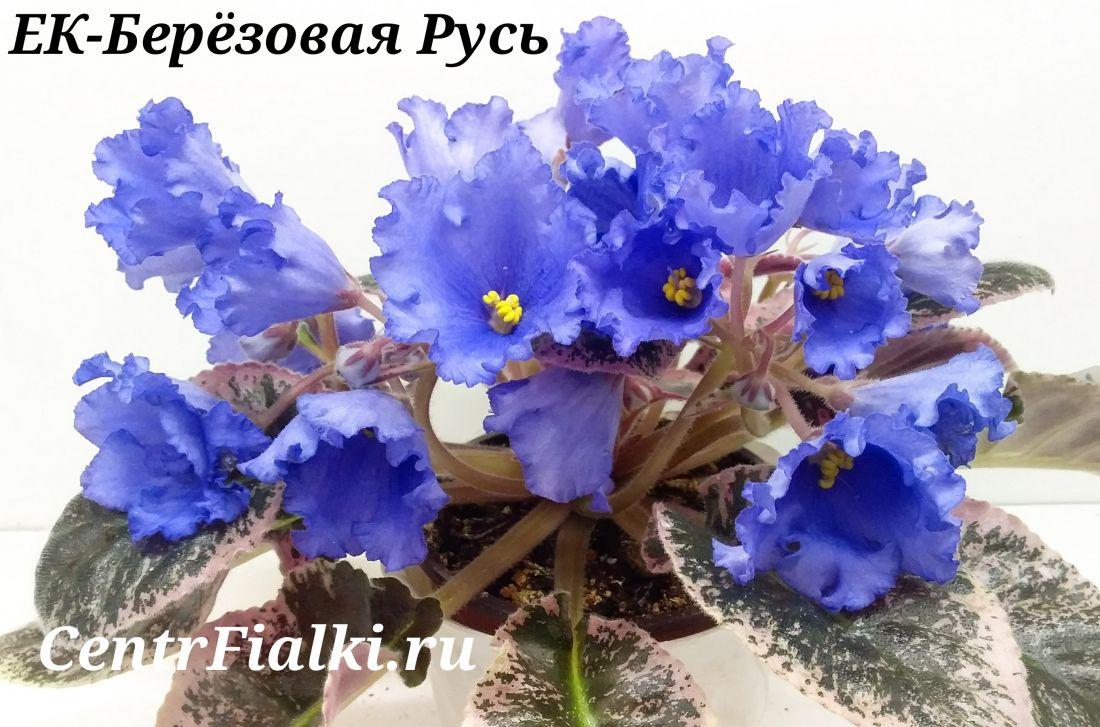 ЕК-Березовая Русь (Е. Коршунова)