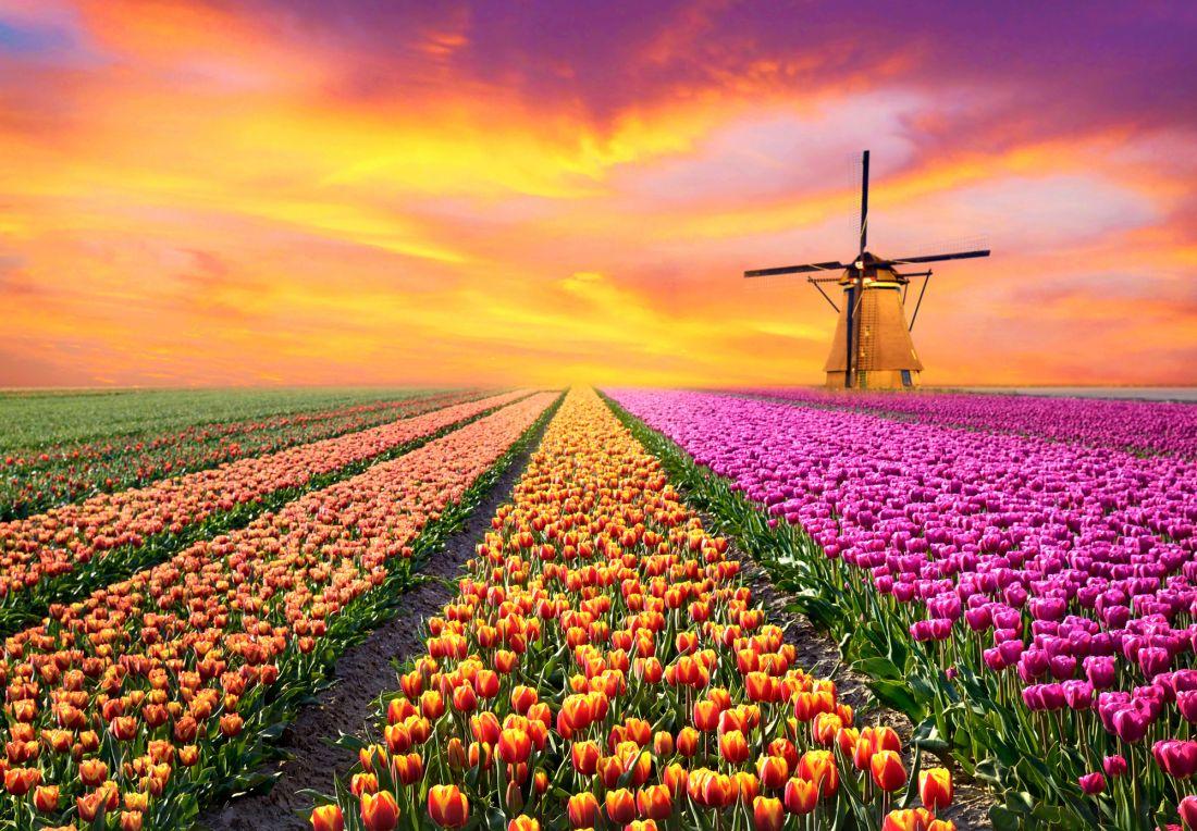 Тюльпаны и мельница 10-244