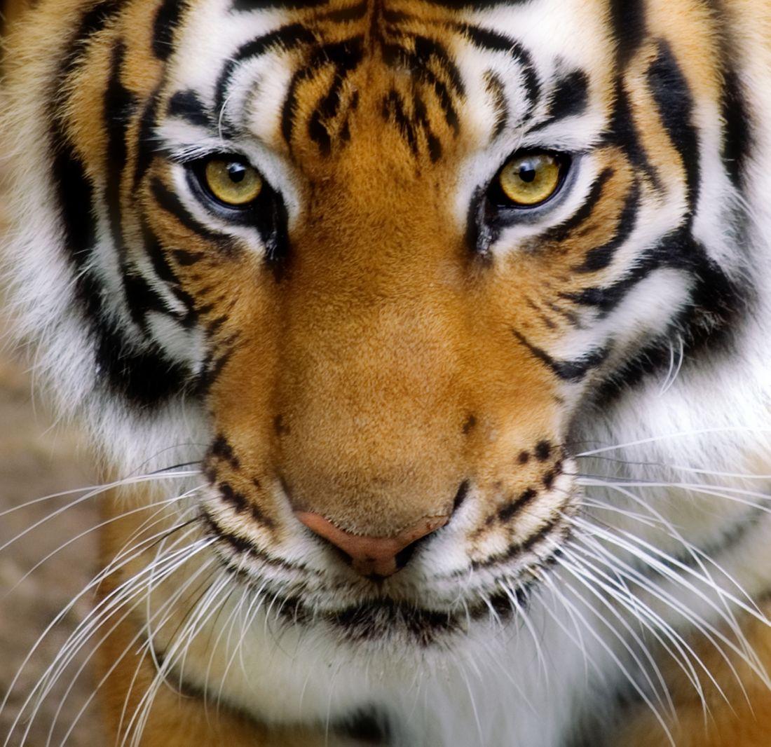 Тигр 3-051