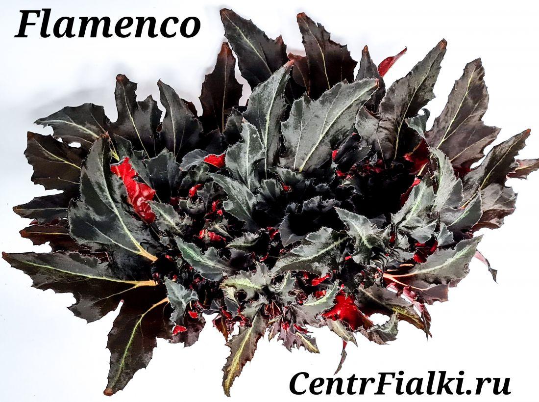Бегония Flamenco