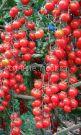 Tomat-Vishnya-Krasnaya-Uralskij-Dachnik