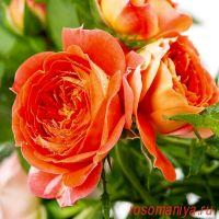 Старлет- Роз Кармен (Starlet-Rose Carmen)