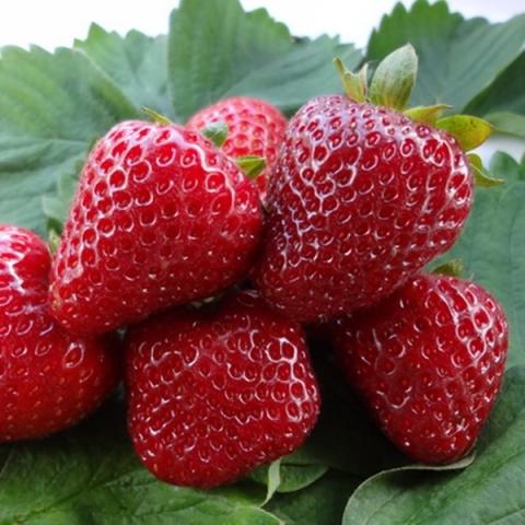 Свит Эви саженцы клубники (Sweet Eve Strawberry)10шт