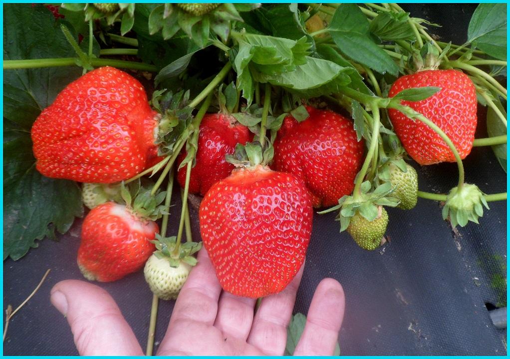 Азия саженцы клубники (Asia Strawberry)