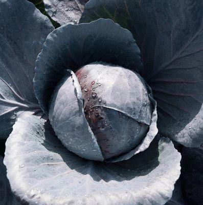 Семена капусты «Примьеро» F1 (20 семян) от Bejo